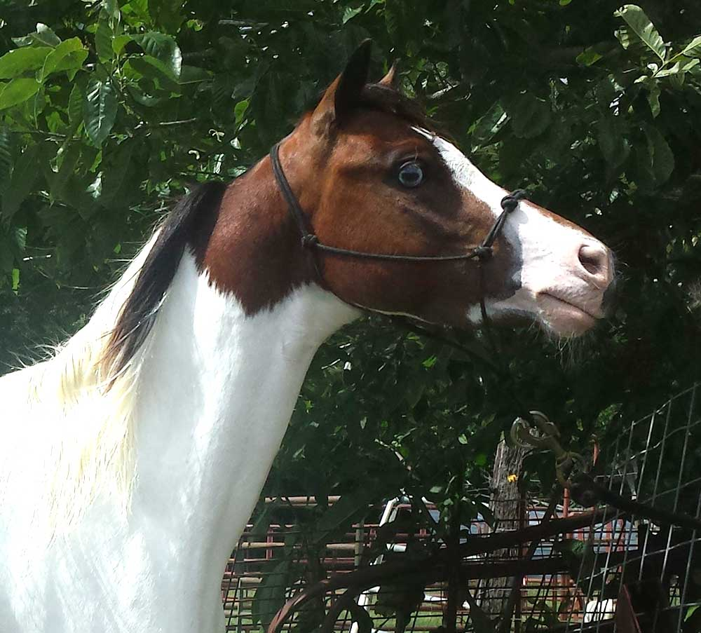 Miniature Horses for sale - Lil Beginnings Miniature Horse and Pony