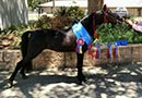 http://luckymfarm.com/Shetland-Pony_files/BookersDukeofDixie/DukeRibbons-sm.jpg