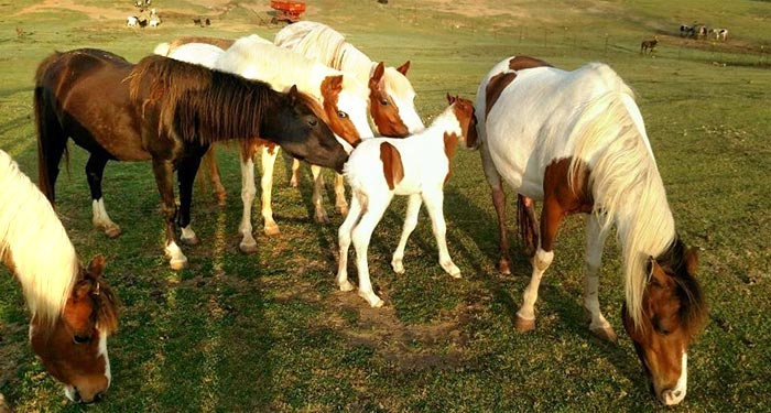 http://luckymfarm.com/Shetland-Pony_files/Meet-n-Greet-sm.jpg