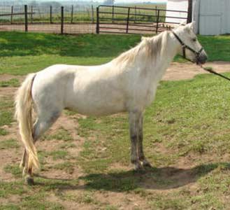 http://luckymfarm.com/Shetland-Pony_files/ShetlandMares/JessicaCody.jpg