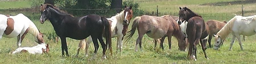 http://luckymfarm.com/Shetland-Pony_files/mares.jpg